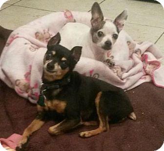 Chihuahua Dog for adoption in Brooklyn, New York - Pepsi