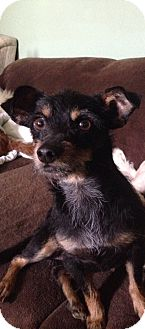Terrier (Unknown Type, Small) Mix Dog for adoption in Santa Monica, California - Kylie