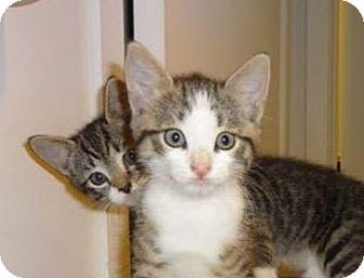 Domestic Shorthair Kitten for adoption in New York, New York - KITTY BONANZA DELICIOUS'14