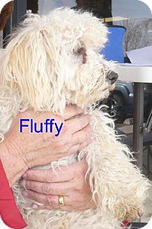 Bichon Frise/Poodle (Miniature) Mix Dog for adoption in Tehachapi, California - Fluffy