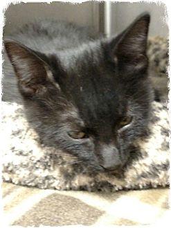 Domestic Shorthair Kitten for adoption in Pueblo West, Colorado - Jasmin