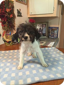 Jack Russell Terrier/Rat Terrier Mix Puppy for adoption in Kittery, Maine - Nina