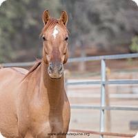 Adopt A Pet :: Red - El Dorado Hills, CA