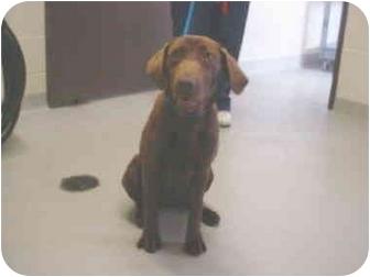 Labrador Retriever/Pointer Mix Puppy for adoption in Tracy, California - kylie