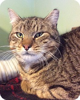 Domestic Shorthair Cat for adoption in Breinigsville, Pennsylvania - Samantha