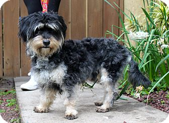 Havanese Mix Dog for adoption in Los Angeles, California - Figgins
