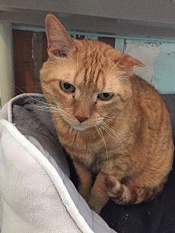 Domestic Shorthair Cat for adoption in Cambridge, Maryland - Machete