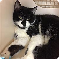 Domestic Shorthair Cat for adoption in Monroe, New York - Tom