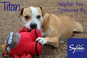 American Pit Bull Terrier Mix Dog for adoption in Greenville, North Carolina - Titan