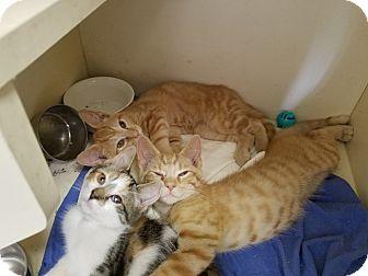 Domestic Shorthair Kitten for adoption in Elyria, Ohio - Slater