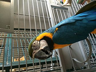 Macaw for adoption in Punta Gorda, Florida - Koty