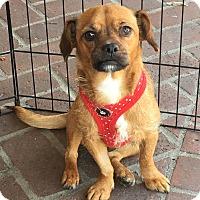 Adopt A Pet :: Cinnamon - Encino, CA