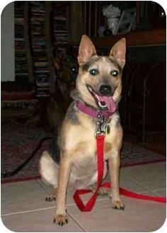 Australian Cattle Dog Mix Dog for adoption in Phoenix, Arizona - Frost