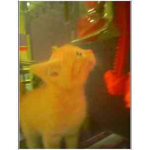 Domestic Shorthair Kitten for adoption in Owasso, Oklahoma - Baby Sister Bear