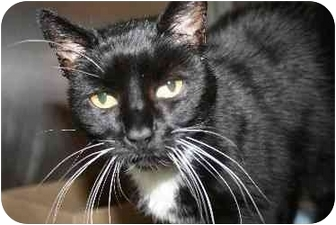 Domestic Shorthair Cat for adoption in Westbrook, Maine - Cady