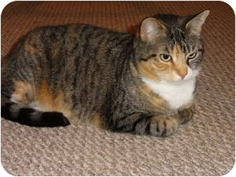 Domestic Shorthair Cat for adoption in Barnegat, New Jersey - Ashley