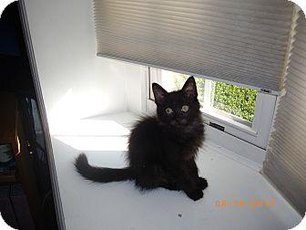 Domestic Longhair Kitten for adoption in East Hanover, New Jersey - Bear