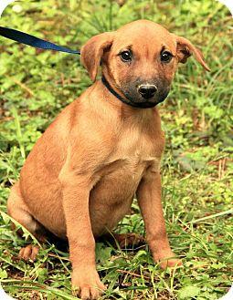 Shepherd (Unknown Type)/Boxer Mix Puppy for adoption in Harrisonburg, Virginia - Patty ($50.00 off)