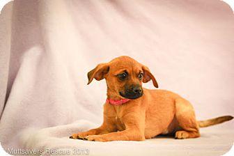 Pug Mix Puppy for adoption in Broomfield, Colorado - Caroline