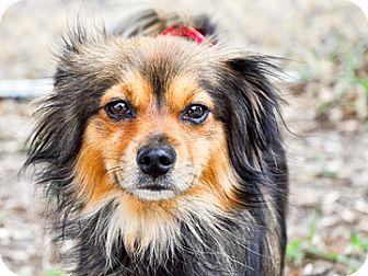 Papillon Mix Dog for adoption in Bradenton, Florida - Foxy Brown