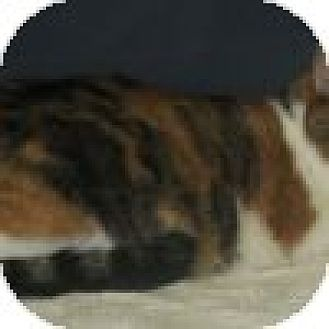 Domestic Shorthair Cat for adoption in Powell, Ohio - Chloe