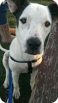 Dalmatian Mix Dog for adoption in Bardonia, New York - Polka