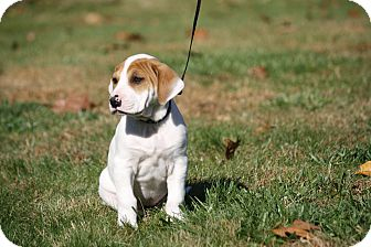 Hound (Unknown Type)/Labrador Retriever Mix Puppy for adoption in West Milford, New Jersey - DAISY MAE-pending