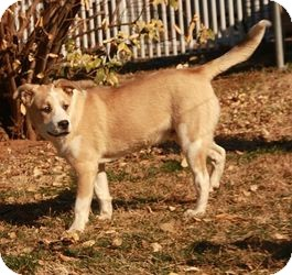 Husky/Boxer Mix Dog for adoption in Windham, New Hampshire - Russell ($300)
