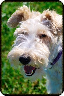 Wirehaired Fox Terrier Dog for adoption in Elyria, Ohio - Ginger