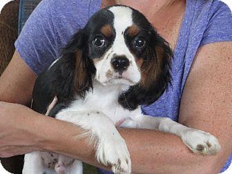 Cavalier King Charles Spaniel Puppy for adoption in Rochester, New York - Felix