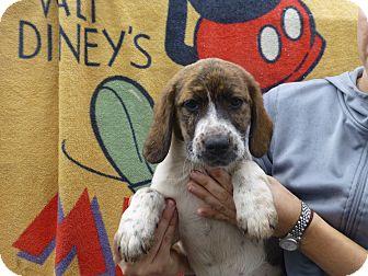 German Shorthaired Pointer/Labrador Retriever Mix Puppy for adoption in Oviedo, Florida - Mali