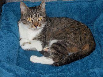 Domestic Shorthair Cat for adoption in Albemarle, North Carolina - Miss Marple