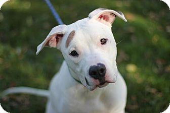 American Pit Bull Terrier Mix Dog for adoption in Midland, Michigan - Mustache