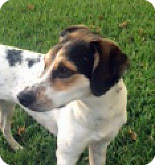 Beagle/Hound (Unknown Type) Mix Dog for adoption in Houston, Texas - Cali