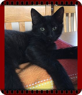 Domestic Shorthair Kitten for adoption in Mt. Prospect, Illinois - Yosemite Sam