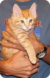 Domestic Shorthair Kitten for adoption in Salem, Oregon - Caitlin