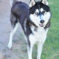 Siberian Husky Mix Dog for adoption in Scottsdale, Arizona - Eli
