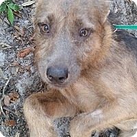 Adopt A Pet :: Koko - Gainesville, FL