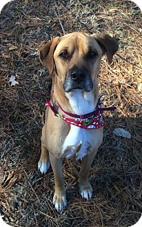 Boxer/Black Mouth Cur Mix Dog for adoption in Coeburn, Virginia - BUDDY