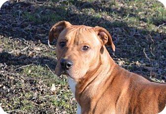 Pit Bull Terrier/Bulldog Mix Dog for adoption in Ashtabula, Ohio - Murphy