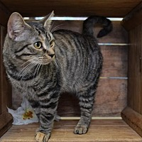 Adopt A Pet :: Lil - Germantown, MD