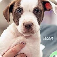 Adopt A Pet :: Fortitude - Gainesville, FL