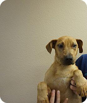 German Shepherd Dog/Labrador Retriever Mix Puppy for adoption in Oviedo, Florida - Cosmos