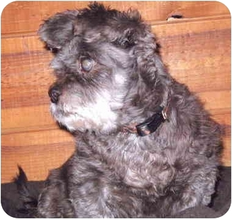Lhasa Apso/Terrier (Unknown Type, Small) Mix Dog for adoption in Grass Valley, California - Mini Mouse