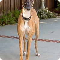 Adopt A Pet :: Little Red - Walnut Creek, CA