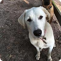 Adopt A Pet :: Claire - Houston, TX