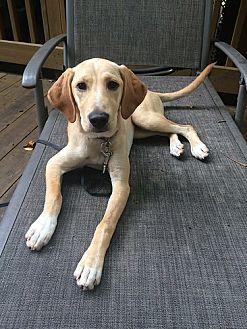 Labrador Retriever Dog for adoption in Rockville, Maryland - Stella