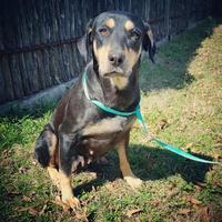 Adopt A Pet :: Lily - Fredericksburg, TX