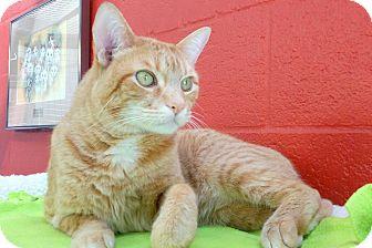 Domestic Shorthair Cat for adoption in Sarasota, Florida - Milo