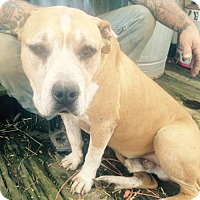 Pit Bull Terrier Dog for adoption in Rutledge, Tennessee - Drago